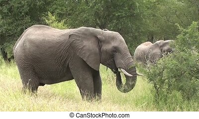 eating elephant in kruger national park