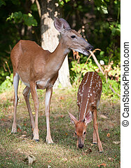 Eating Fawn