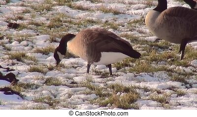 Eating geese in the winter. (Branta canadensis)