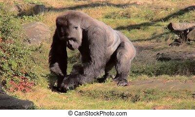 Eating Gorilla female. - Lowland Gorilla (Gorilla gorilla...