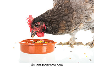 Eating gray chicken isolated over white