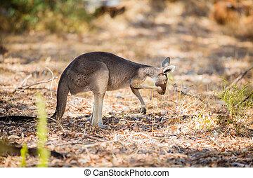 Eating kangaroo in the wild
