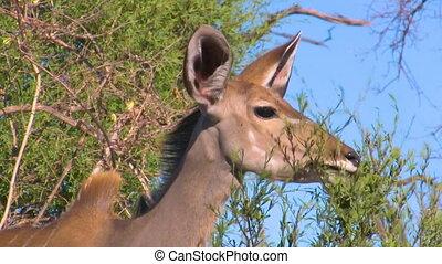Eating kudu antelope - Detailed portrait of eating greater...