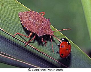 Eating lady bug