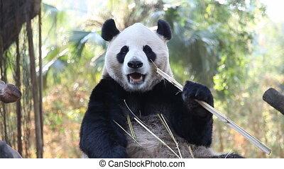 eating panda - a three-month-old panda in a China zoo .