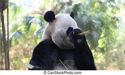 panda - eating panda.