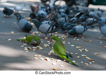Eating pigeons and two parrots