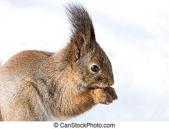Eating squirrel closeup