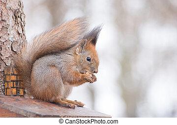 Eating Squirrel.