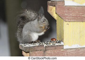 Eating squirrel sitting in the bird feeder.