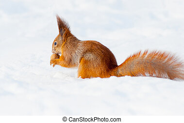 Eating squirrel sitting on the snow