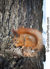 Eating squirrel sitting on tree
