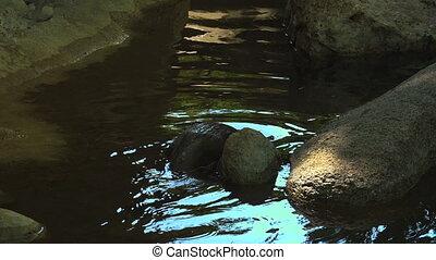 eau, étang, loutres, jouer, natation