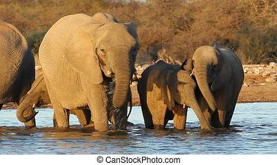 eau, africaine, boire, éléphants
