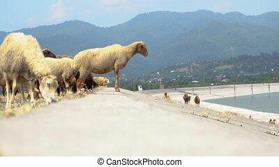 eau, arrière-plan., sheeps, bassin, montagne, troupeau, groupe, herbe, paysage, animaux, highland., pastoral, manger, étonnant, conjugal
