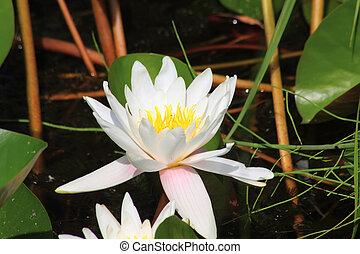 eau, blanc, waterlily., flower.