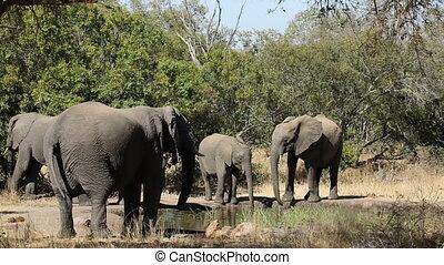 eau, boire, éléphants africains