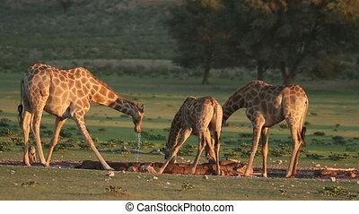 eau, boire, girafes
