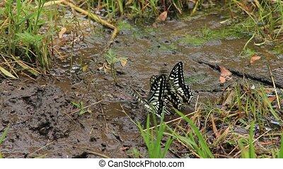 eau, butte, boire, swallowtail