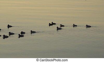 eau, canard, oiseaux, swiming