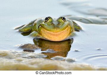 eau, comestible, grenouille
