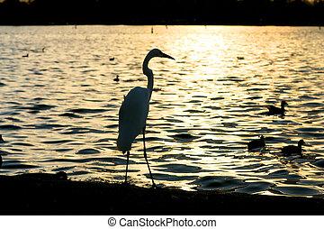 eau, coucher soleil, sur, héron, silhouette