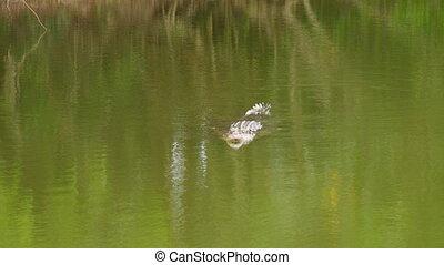 eau, crocodile, coup