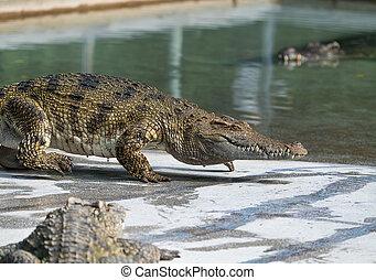 eau, crocodile, mer, haut fin