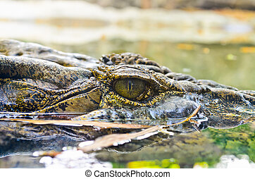 eau, crocodile, yeux