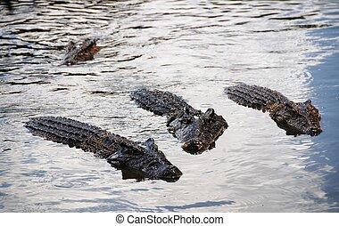 eau, crocodiles, groupe, surface, natation