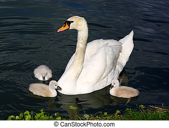 eau, cygne blanc, cygnets, mère