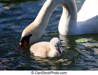 eau, cygne blanc, jeune cygne, mère