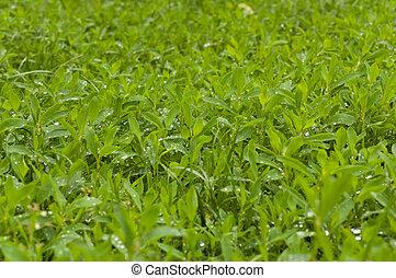 eau, drops., herbe, vert