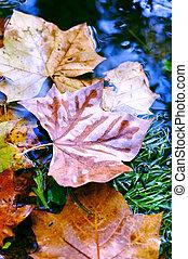 eau, feuilles automne, coloré
