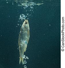 eau, fish