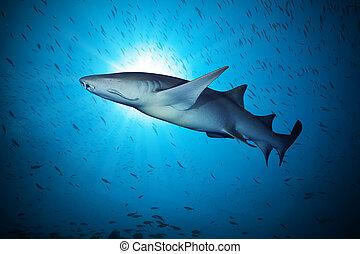 eau, grand, requin, flotter, profond