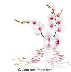 eau, isolé, -, orchidées, blanc