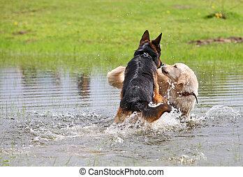eau, jouer, deux, chiens