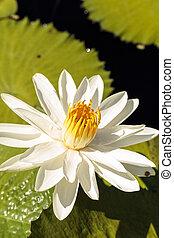 eau, lis blanc, fleurs, nymphaea