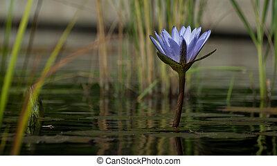 eau, lys étang