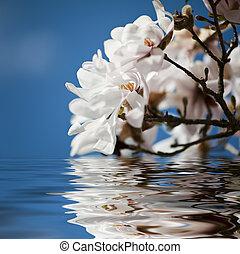 eau, magnolia, fleurs