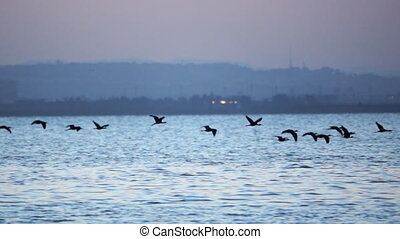eau, plegadis, sur, voler, mouvement, lent, falcinellus, super