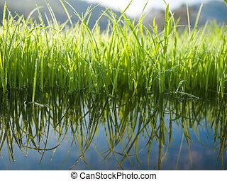 eau, réflexe, herbe, vert