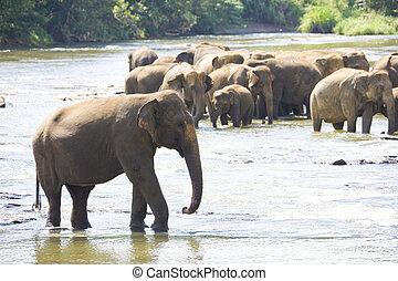 eau, sri lankan, éléphants