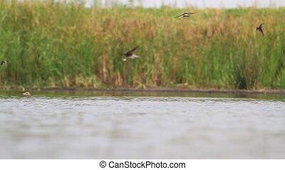 eau, sur, oiseaux, lac, troupeau, boisson, mouche