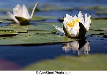 eau, yellow-white, lis