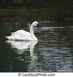 Portrait of Trumpeter Swan Cygnus Buccinator on water in Spring