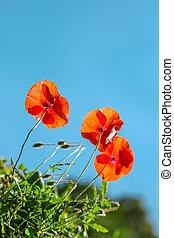 eautiful red poppies on clear sky