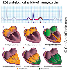 Connection between ECG and electrical activity of the heart, eps8