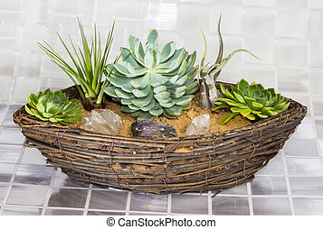 Echeveria, a succulent, and Tillandsia, an epiphyte of the Bromeliad family, growing in a wicker basket